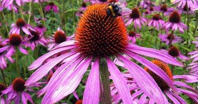 Echinacea: A Beautiful Flower with a Beautiful Purpose in Natural Health – Prof. Deryl Gulliford RRT, RCP, MHA, FAAMA | ACHS.EDU