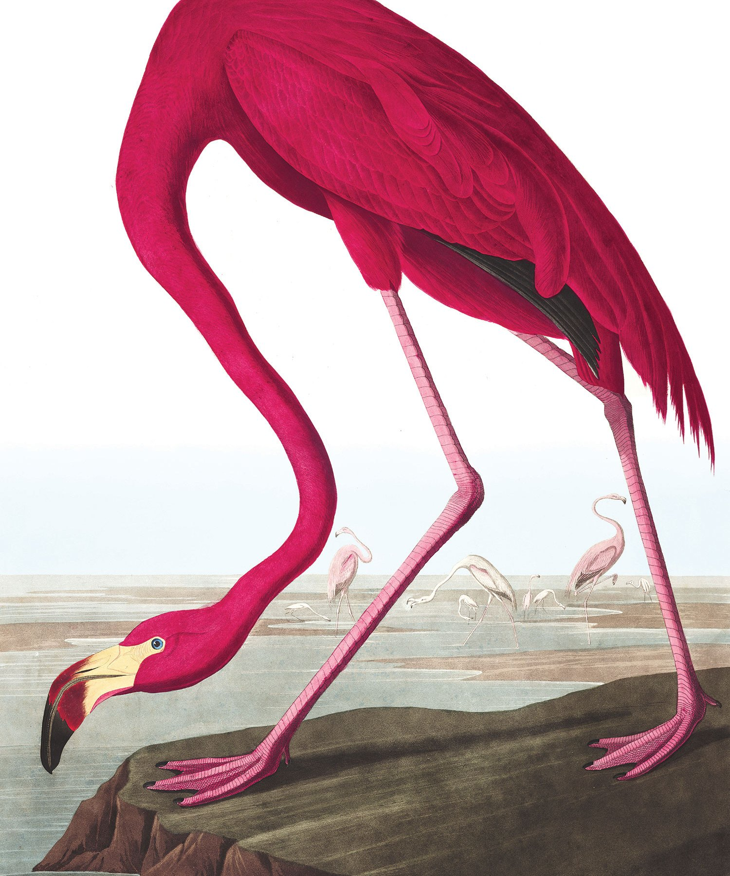 American Flamingo, John James Audubon (1838)