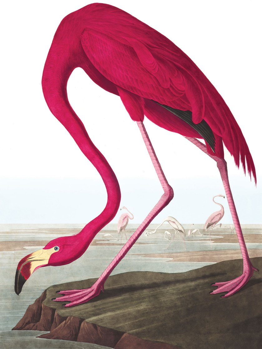American Flamingo, John James Audubon (1838)