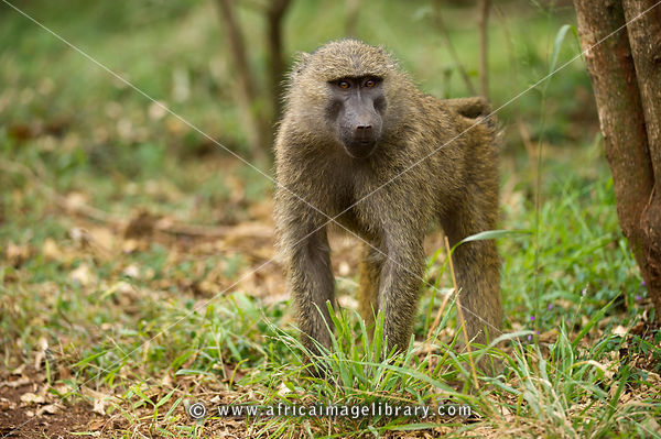 Image result for baboons in nairobi national park