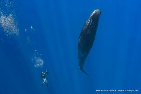Indian Ocean, Sperm whale in vertical position filmed by a scuba diver.