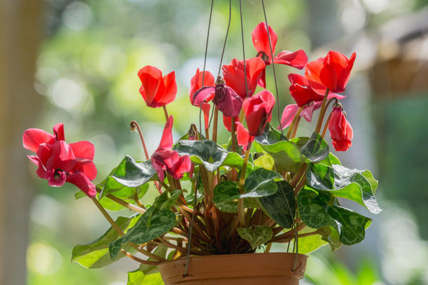 Spring Bunga Dalam Pot Taman Rumah Menumbuhkan Bunga Musim Semi