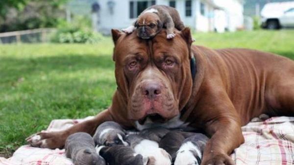 Ini yang Membuat Anjing Pitbull Tidak Direkomendasikan ada di Pemukiman