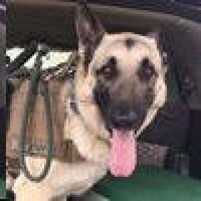King Service Dog - Mrs Allens Rescue Ranch - Mediators of Texas