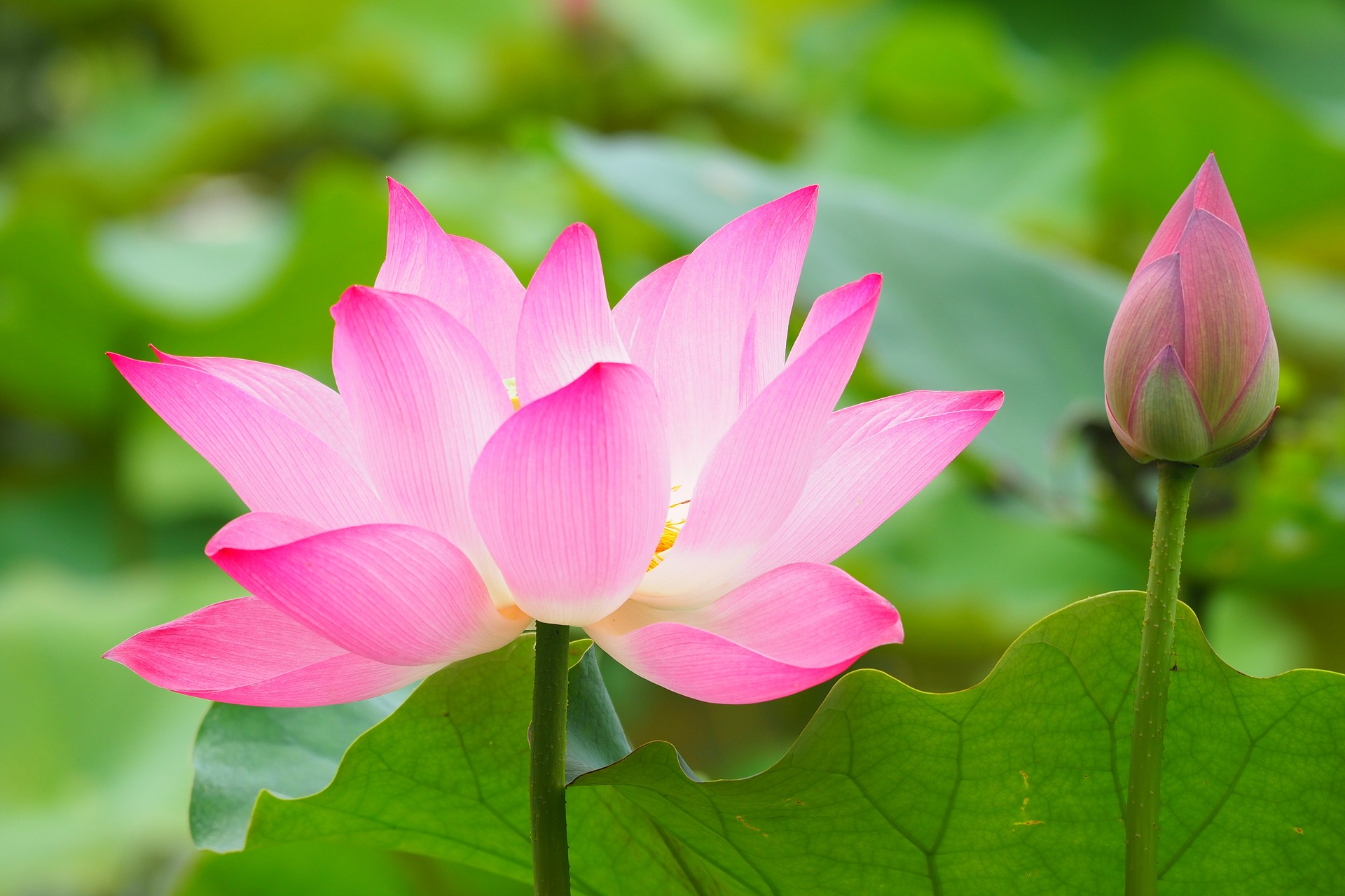 Lotus Flower Meaning And Symbolisms Media To Share