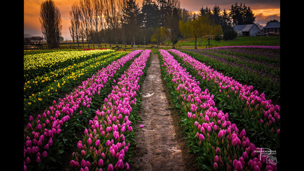 PHOTOS: Skagit Valley in bloom, spring 2016 - (5/13)