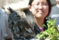 Animals, like this eastern screech owl, were among the most popular attractions at Stony Brook University's Earthstock festival. Photo by Trevor Christian. (April 25, 2014)