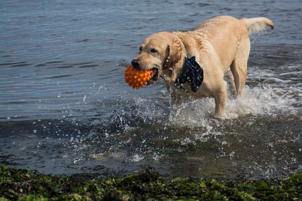 Copiague, NY – Paul Lefebvre of Lindenhurst took his dog, Chance to the Long Island Pet Expo at Tanner Park in Copiague on September 14, 2014, but Chance was more interested in playing on the beach. This is playtime for Chance, who is usually working as a companion dog at nursing homes