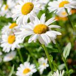 Close-Up-shasta-daisies-photography-bozeman
