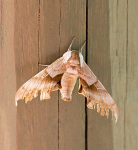 large moth photograph