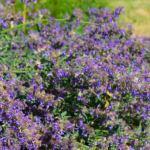 lavender-photography-bozeman