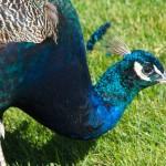 peacock-head-photography-bozeman-150x150