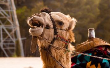 Arab, camel, MERS