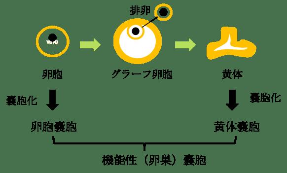 functional ovarian cyst figure2