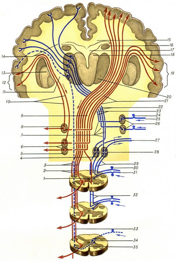 Сагиттальный размер позвоночного канала. Ожидаемые результаты хирургического лечения при абсолютном сужении шейного отдела спинного мозга Сагиттальный размер позвоночного канала норма поясничного