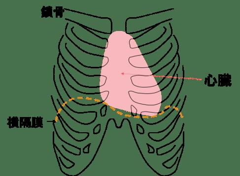 心臓の仕組み 心臓の場所(位置)と大きさ
