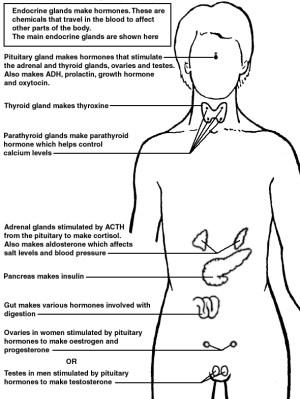 Endocrine Glands   Diagram   Patient