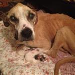 Jessie, Boxer-Shepherd mix - Medical Animals In Need (3)