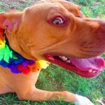Lucky, Pit Bull Mix - Medical Animals In Need - After (11)