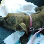 Valentine, Pit Bull Terrier Mix