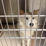 Perry - American Eskimor Mix - MAIN - Medical Animals In Need. Phoenix AZ (15)
