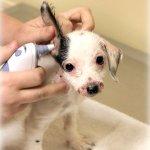 Sadie ear check