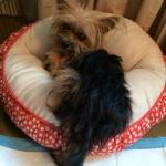 Alvin, Yorkshire Terrier