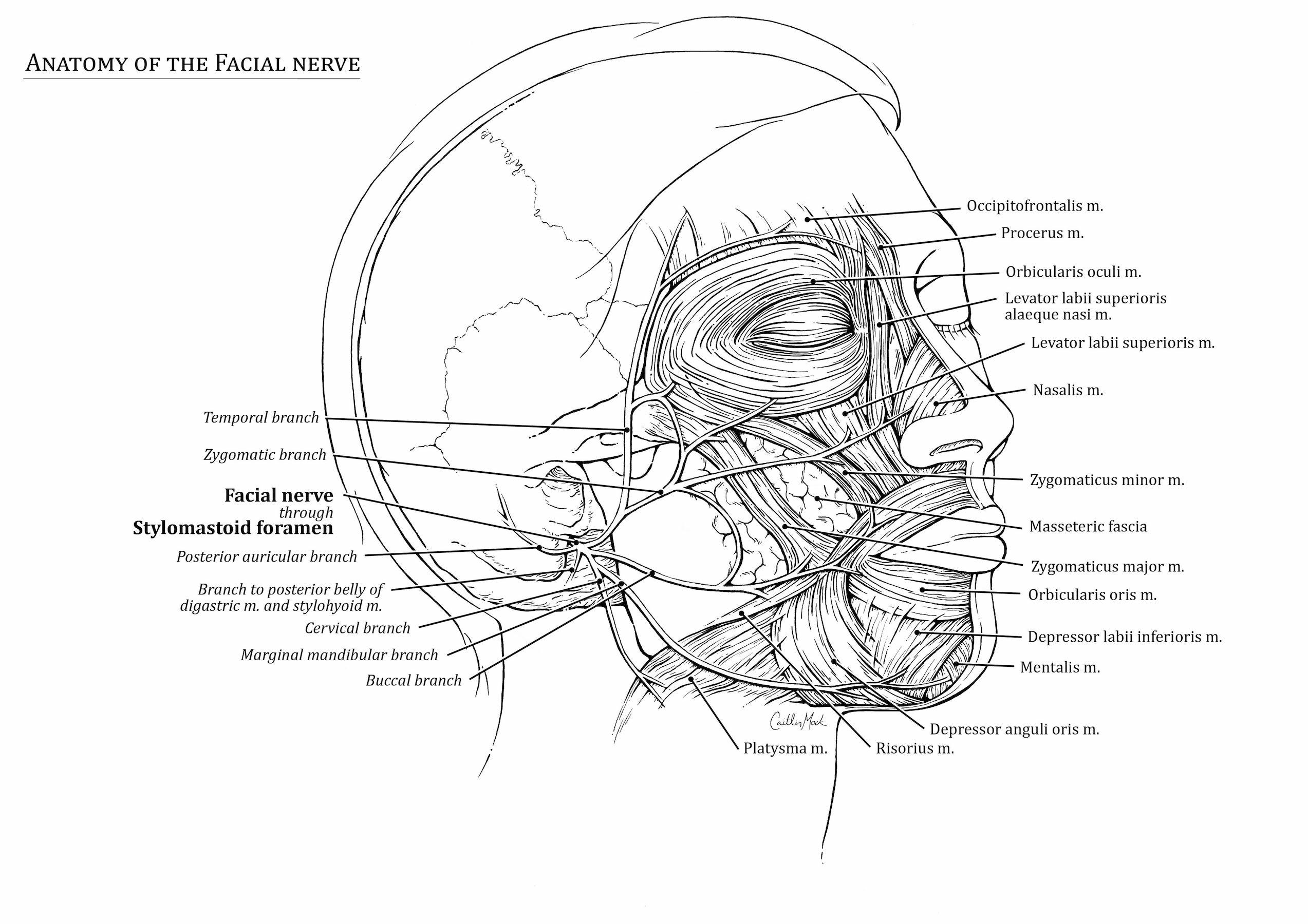 Facial Nerve Art As Applied To Medicine