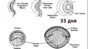 Эмбриональное развитие хрусталика и причина врожденной катаракты