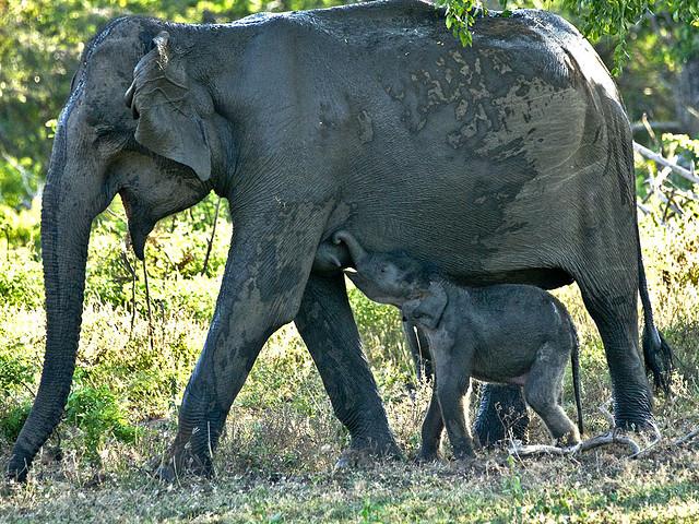 продолжительность жизни, потомки, слоны, самки