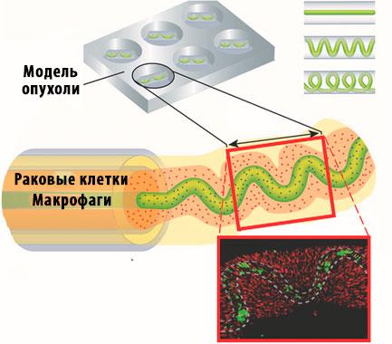 гидрогель, раковые клетки