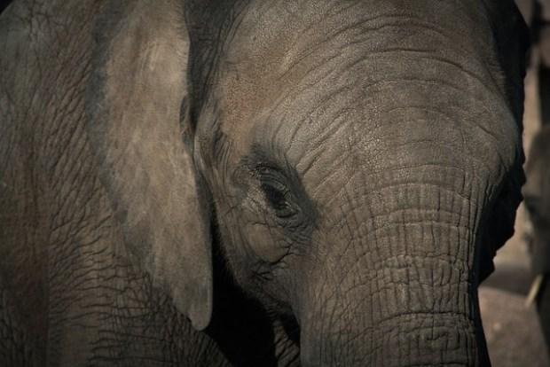 слон, рак