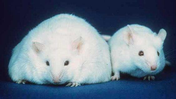Ученые считают, что головной мозг способен самостоятельно регулировать свой вес ©en.wikipedia.org