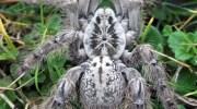 паук, синдром раздраженного кишечника, боль, Nature