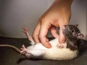 Щекотка, крысы