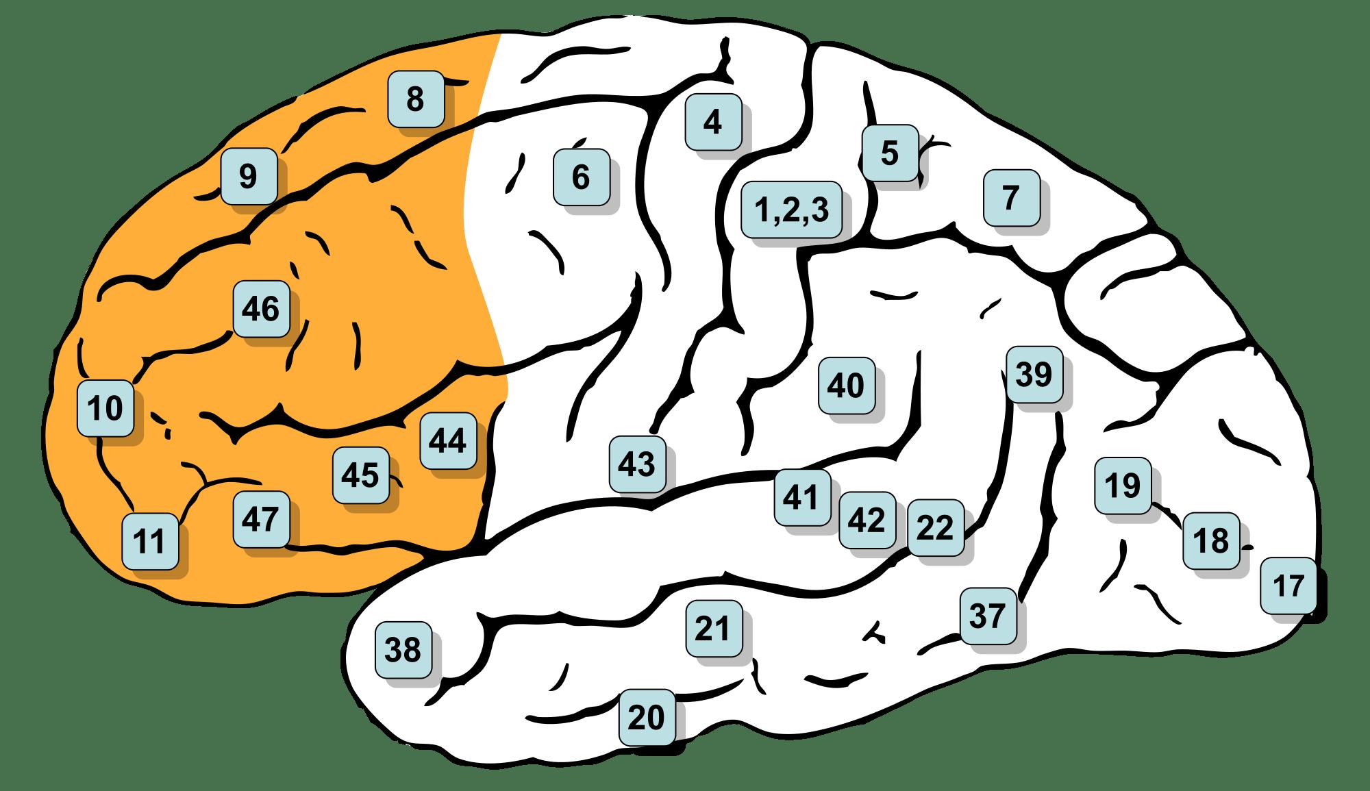 Доли головного мозга: за что отвечают, особенности