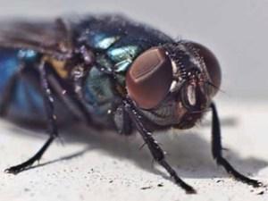 Домашние мухи, инфекция