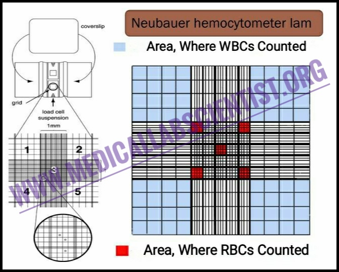 Manual Cell Counting With Neubauer Chamber Manual Guide