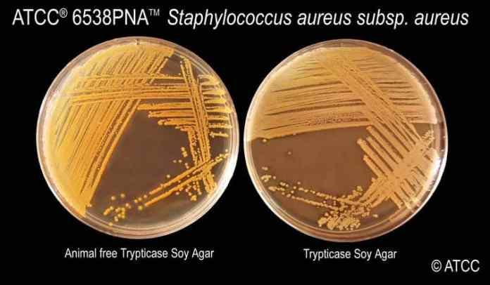 Staphylococcus Aureus on Tryptic Soy Agar