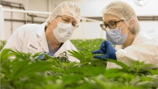 Scientists researching medicinal cannabis