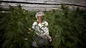 Scientists researching cannabis plant