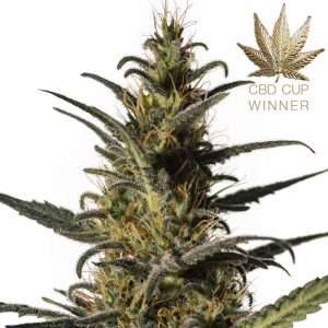medical cannabis plant