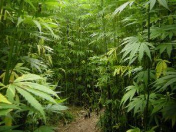 lots of tall cannabis plants