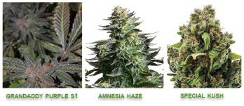Linalool cannabis strains