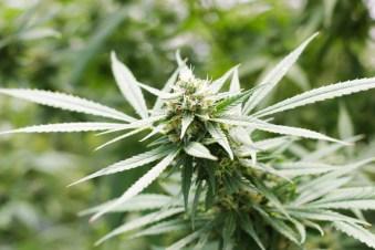 Candida Medical Marijuana Genetics cannabis plant