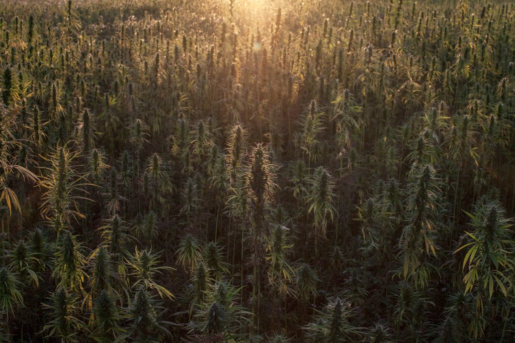 Sun setting over British hemp farm in oxfordshire, field of medical cannabis