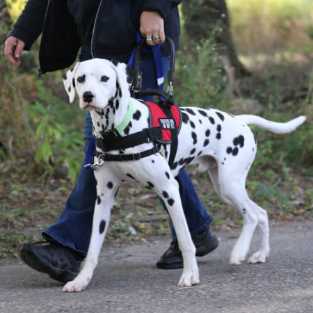 Medical Mutts mobility service dog being walked by a trainer