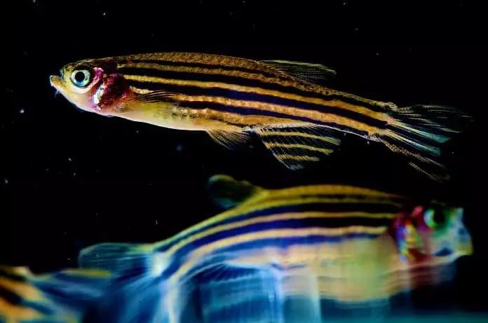 zebrafish cancer response
