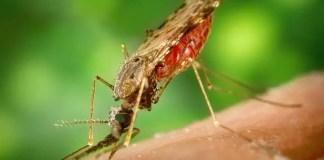 malaria parasite