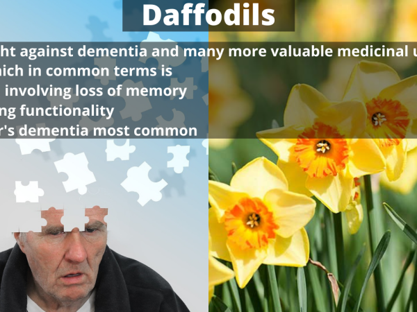 Treating Dementia with Daffodils (Narcissus) Plants